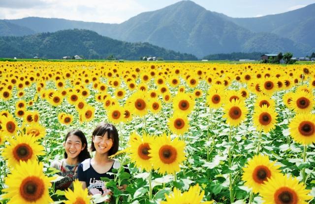 元気に花を咲かせている約1万本のヒマワリ=18日、福井県大野市稲郷のどんグリーン広場