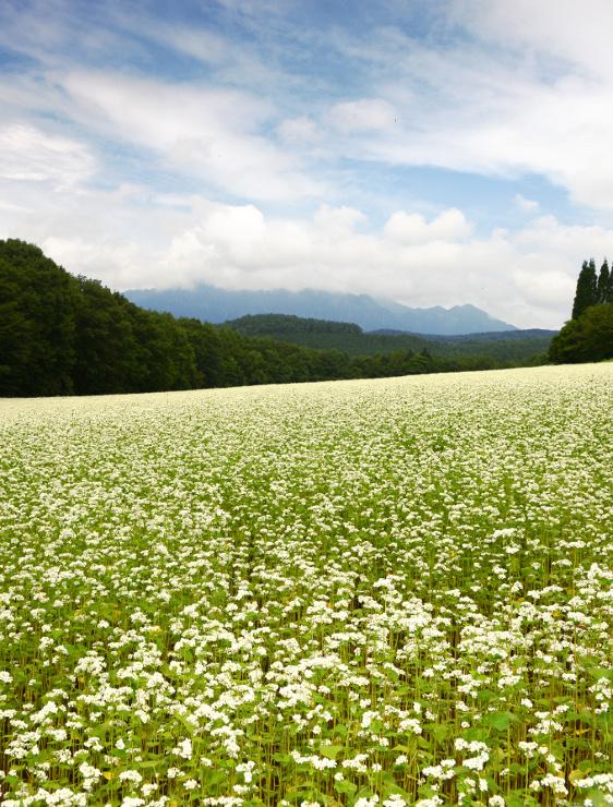 戸隠連峰を背景に花の白さが際立ち始めたソバ畑=20日午前11時17分、長野市戸隠豊岡
