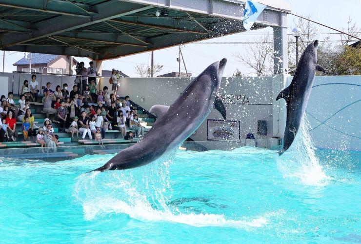 旗を目がけて豪快なジャンプを見せる2頭のバンドウイルカ=7月11日、上越市立水族博物館