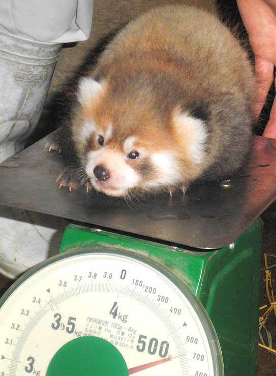 体重測定をするレッサーパンダの赤ちゃん
