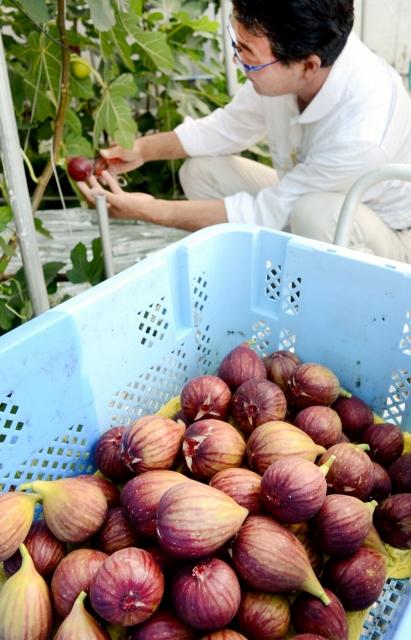 橋本さんのハウス内で収穫された赤紫に色づいた若狭イチジク=28日、福井県小浜市多田