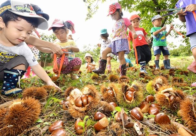 大粒のクリを拾い集める園児たち=1日、福井県越前市黒川町の白山観光くり園