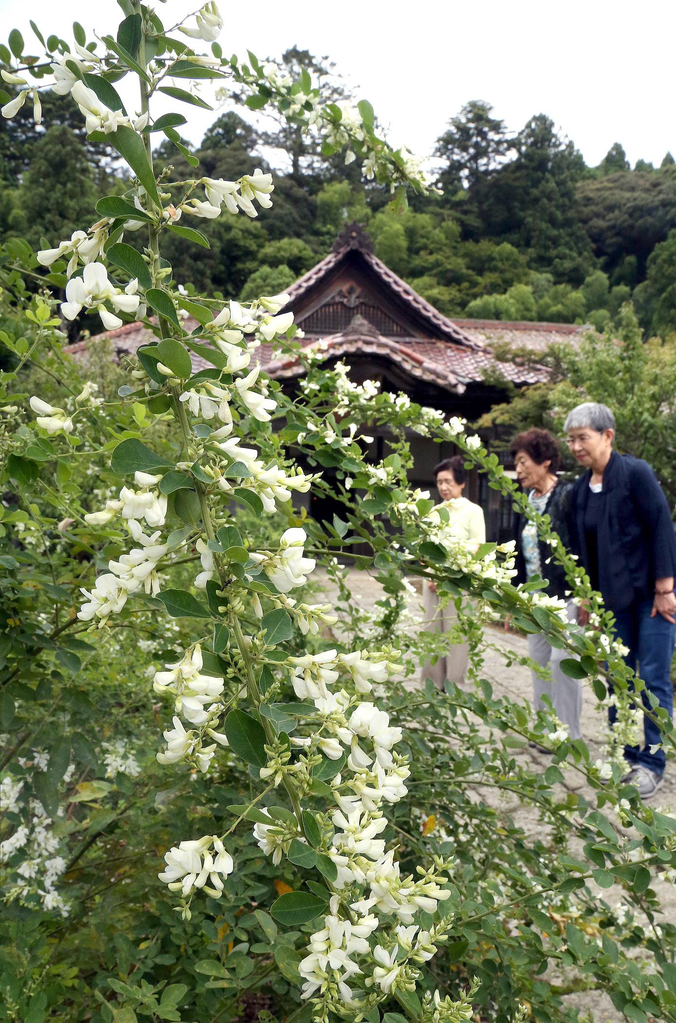 白くかれんな花を咲かせたハギ=加賀市大聖寺下屋敷町の実性院