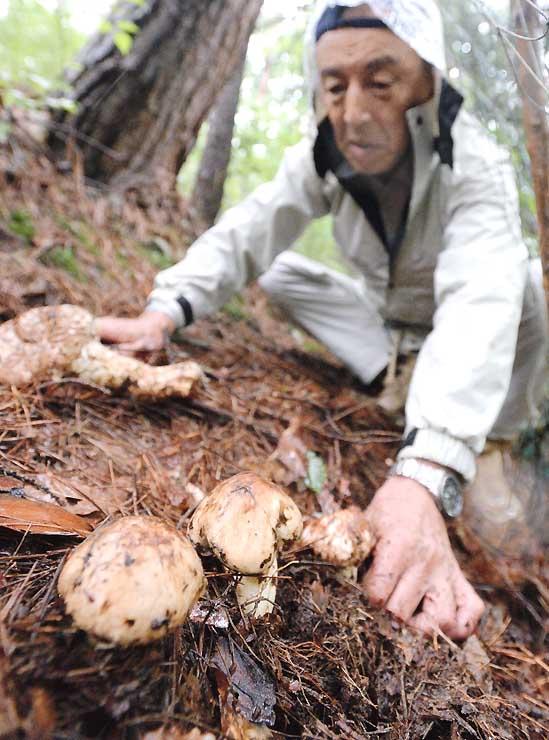 雨で湿った斜面から顔を出したマツタケ=8日、諏訪市湖南