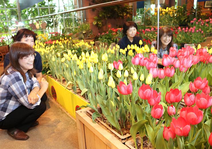 低温処理で年間を通して花を咲かせるチューリップ。台湾でも独自技術で開花させる=チューリップ四季彩館