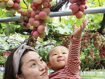 聖籠のブドウ園 親子連れ顔ほころぶ