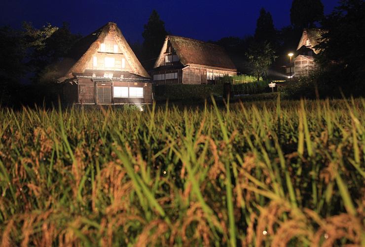 稲穂が黄金色に実った集落でライトアップされた合掌造り家屋=南砺市相倉