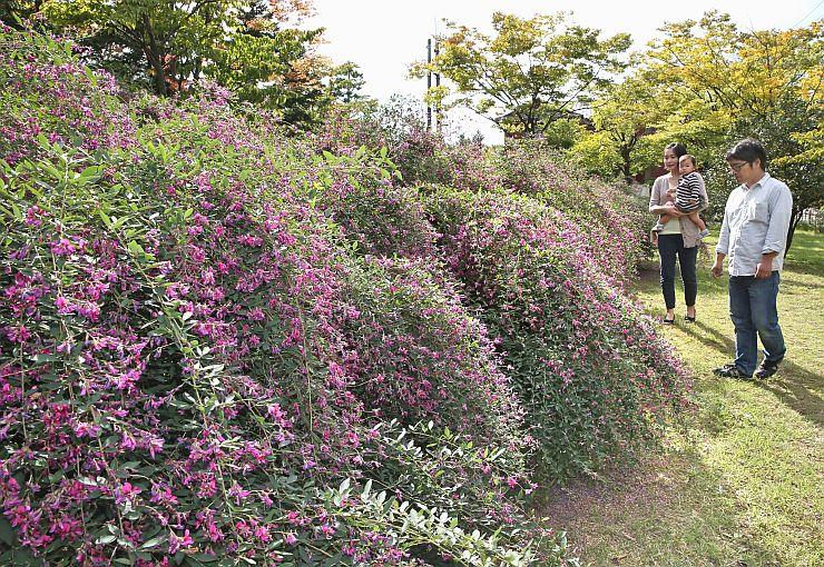 秋晴れに映えるハギの花。散歩に訪れた家族連れが足を止めて見入っていた=29日、新潟市中央区