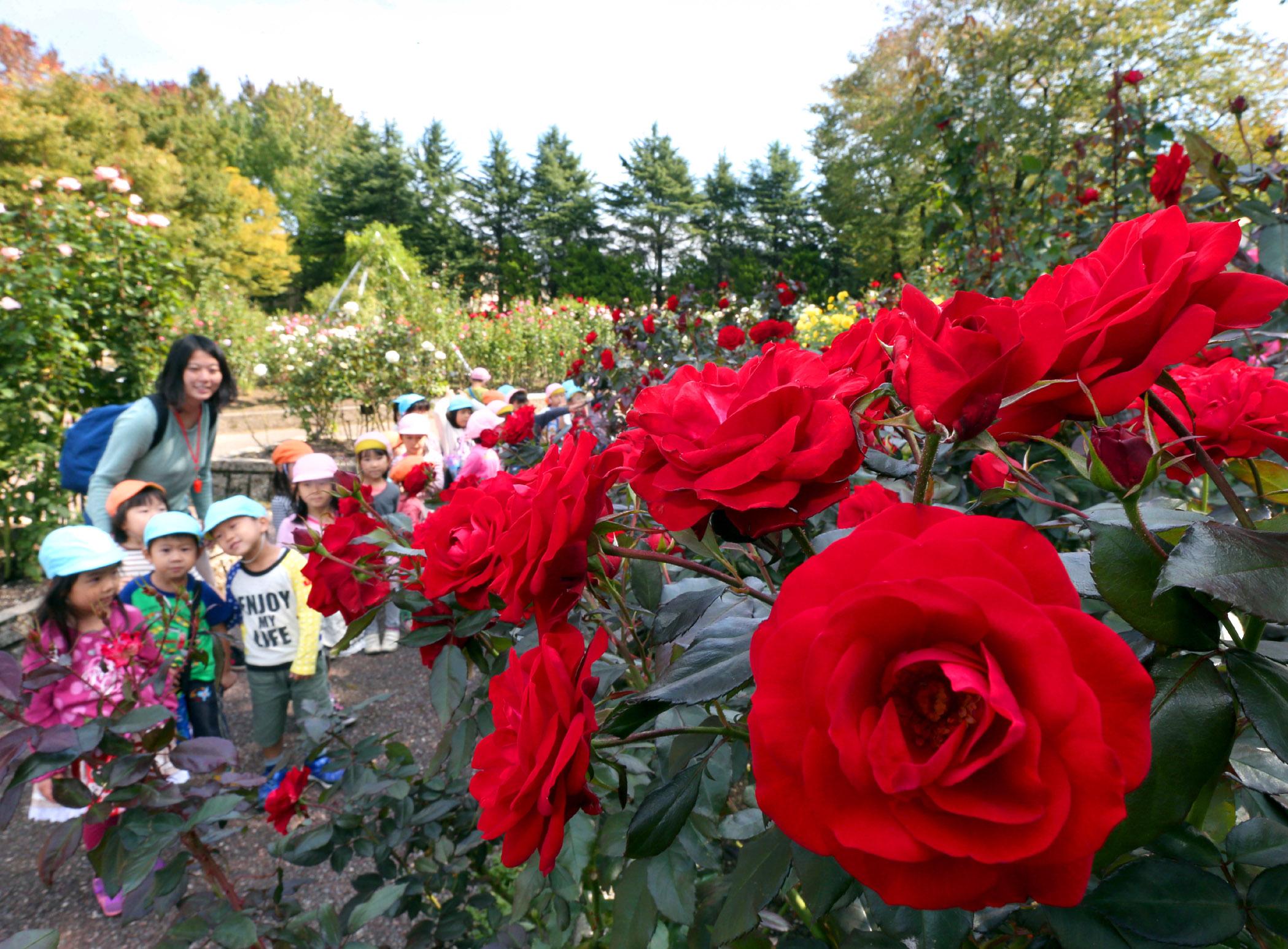 鮮やかに色づいたバラを眺める園児=5日午前11時、金沢市富樫3丁目の金沢南総合運動公園バラ園