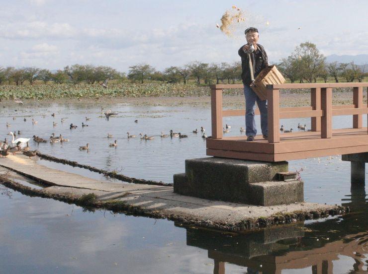 ハクチョウやカモに餌を与える斎藤功さん=4日、阿賀野市の瓢湖