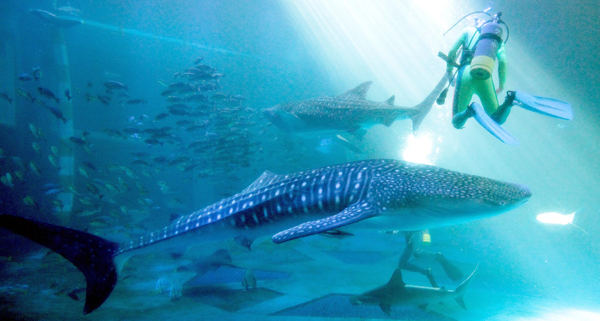 悠々と泳ぐ2匹のジンベエザメ=14日午前8時半、七尾市ののとじま臨海公園水族館