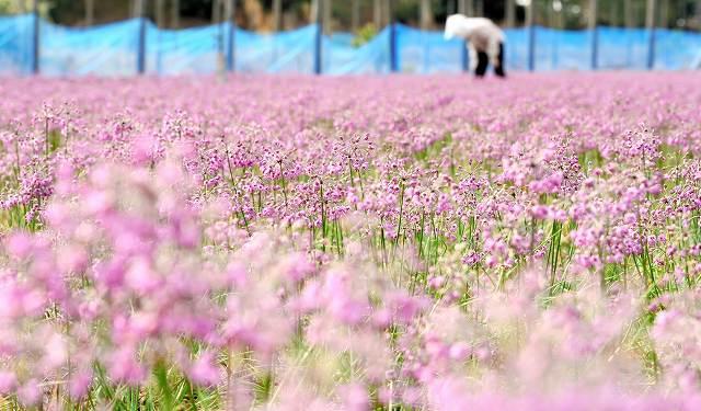 砂丘地で秋風に揺れるラッキョウの花=19日、福井県坂井市三国町黒目