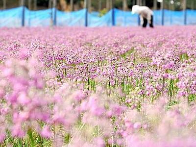 砂丘を彩る紫 秋風に揺れ ラッキョウの花開く 福井―坂井市