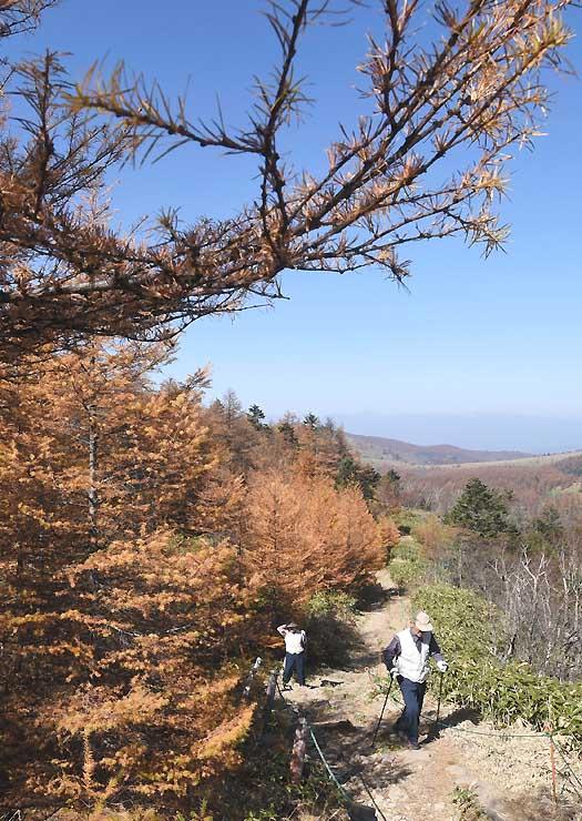 青空の下、カラマツが「秋色」に染まった美ケ原高原で散策を楽しむ人たち=21日