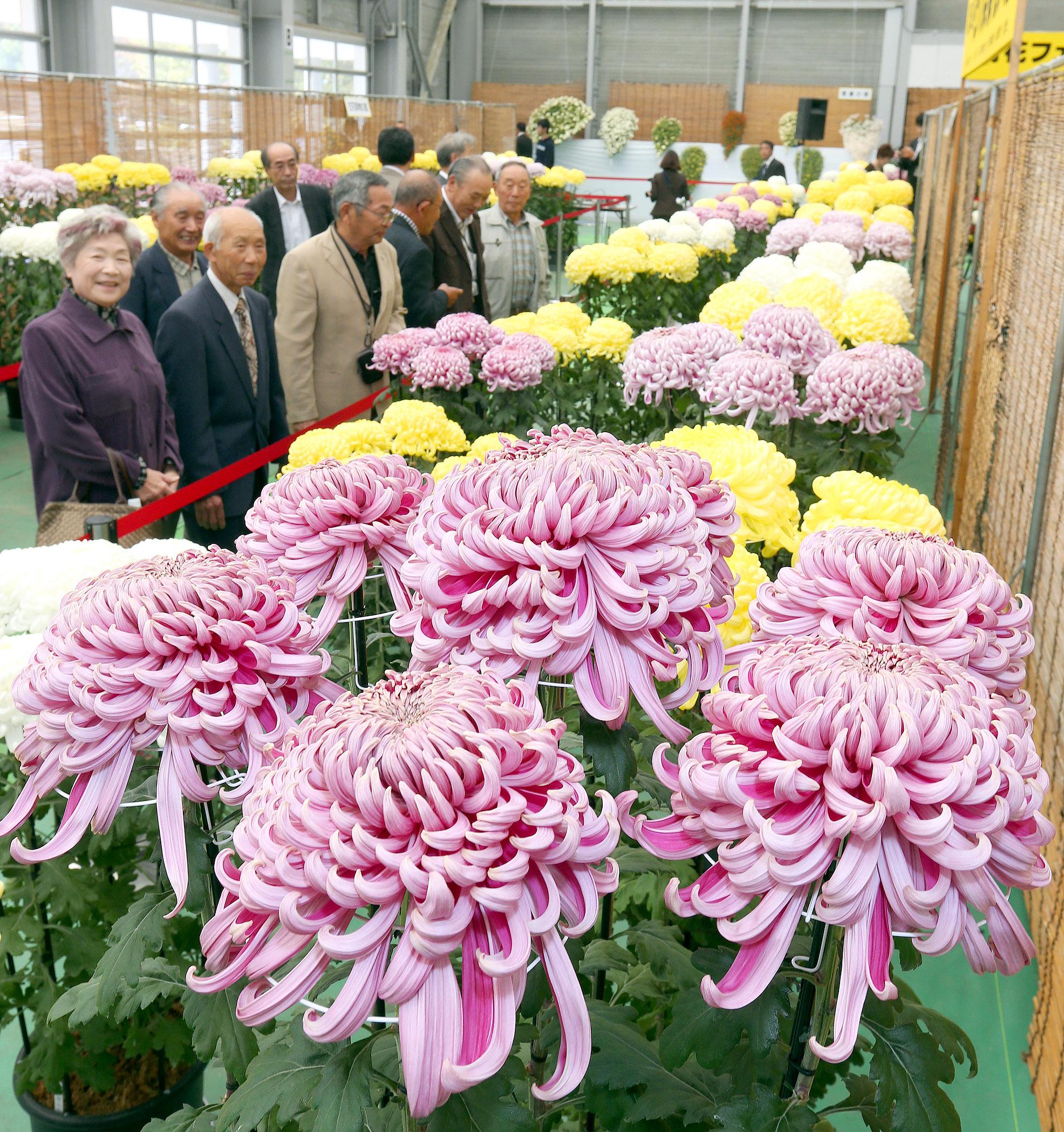 色鮮やかな菊に見入る来場者=26日午前10時20分、白山市松任総合運動公園屋内運動場