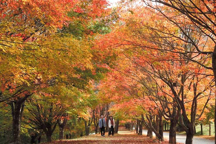 秋の日差しに輝く箕輪ダム湖周辺のモミジ=27日