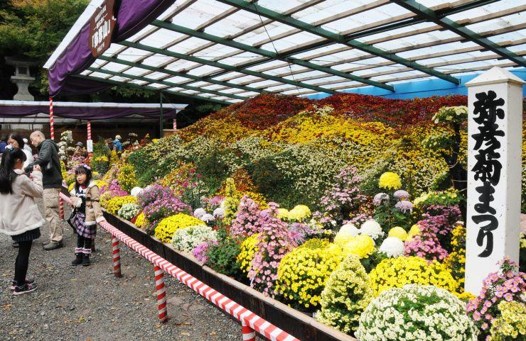 朝日に染まる弥彦山を表現した大風景花壇=1日、弥彦村