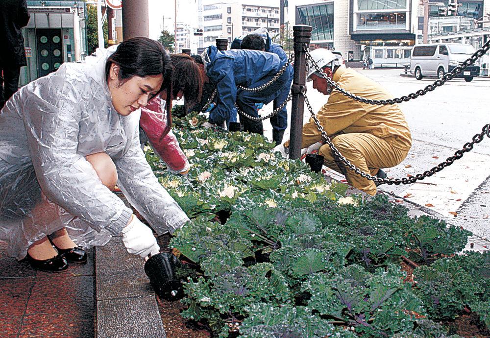 葉ボタンを植える参加者=武蔵町