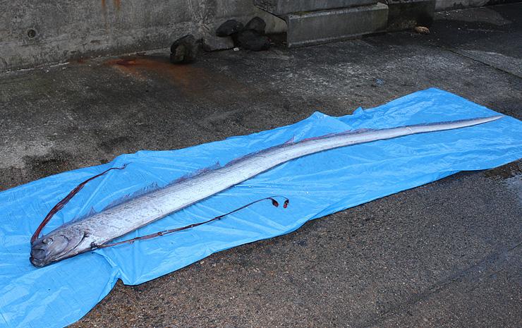 魚津水族館に持ち込まれたリュウグウノツカイ