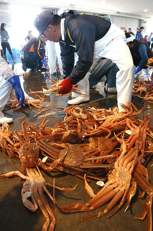 初水揚げされ競り場に並べられるズワイガニ=新湊漁港