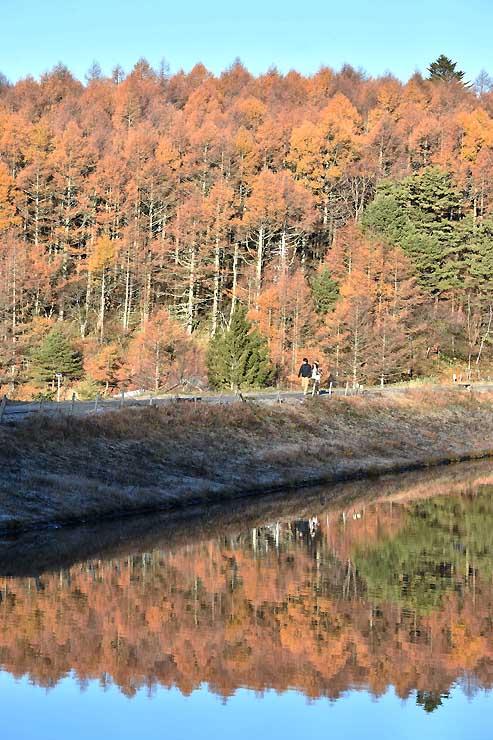 波の消えた湖面に映った色鮮やかなカラマツ林=立科町の女神湖
