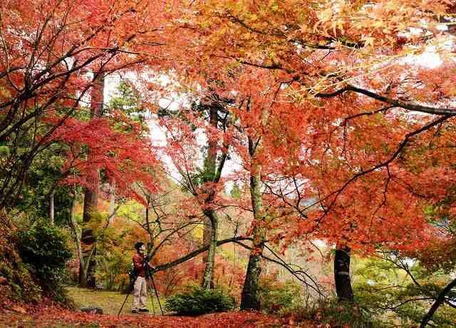 葉が鮮やかな赤に染まったモミジ=8日、越前市粟田部町の花筐公園