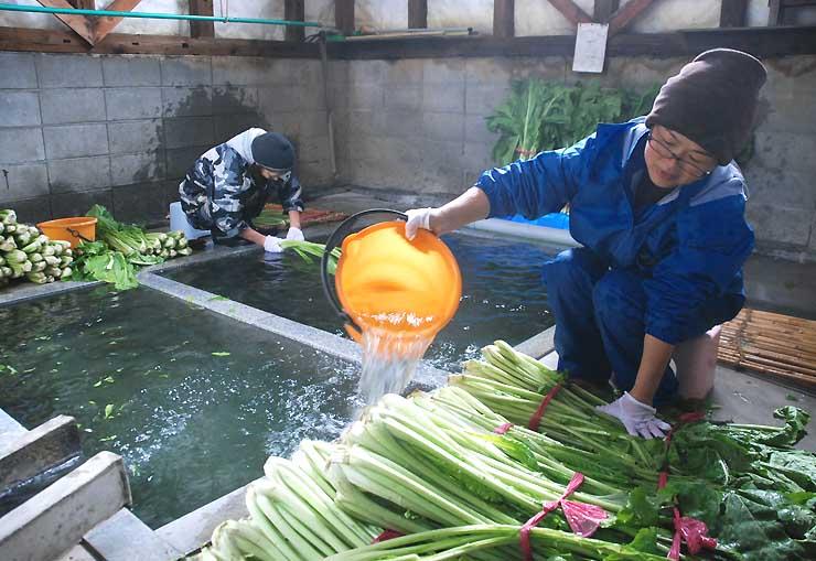 収穫したばかりの野沢菜を地区の「洗濯湯」で洗う女性たち