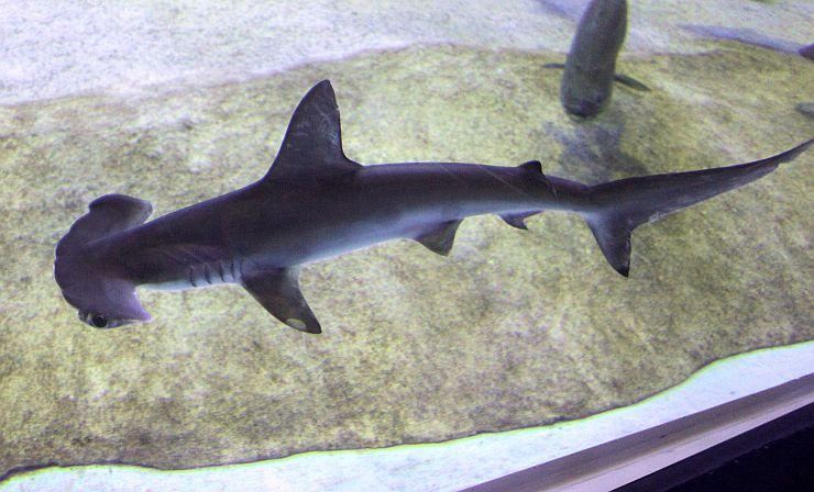 大型水槽の中を悠然と泳ぐアカシュモクザメ=上越市西本町4の市立水族博物館