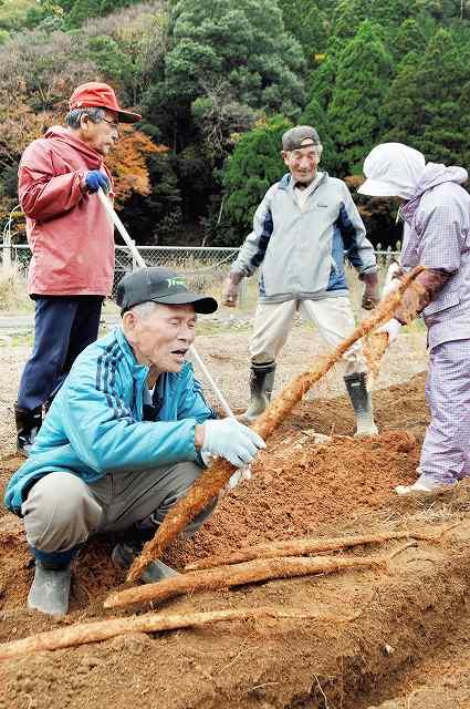 初掘りしたジネンジョを手に取る生産者=17日、福井県おおい町名田庄井上