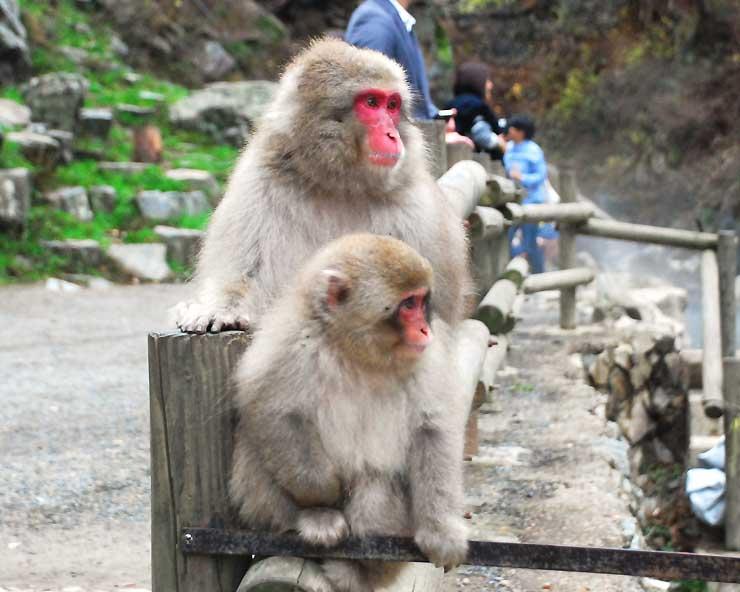 17日ぶりに現れた猿=17日、山ノ内町の地獄谷野猿公苑