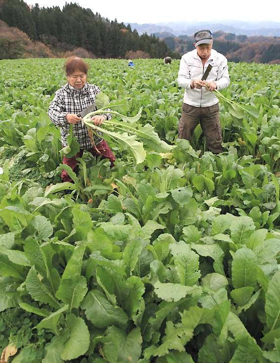 「お菜とりツアー」で野沢菜を収穫する来場者=20日、長野市中条