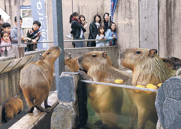露天風呂に漬かるカピバラ=能美市のいしかわ動物園