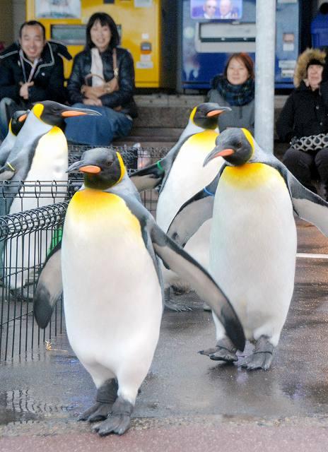 「王様」の風格を漂わせながら行進するオウサマペンギン=26日、坂井市三国町の越前松島水族館