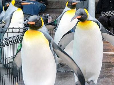 オウサマペンギン散歩始まる 坂井・越前松島水族館
