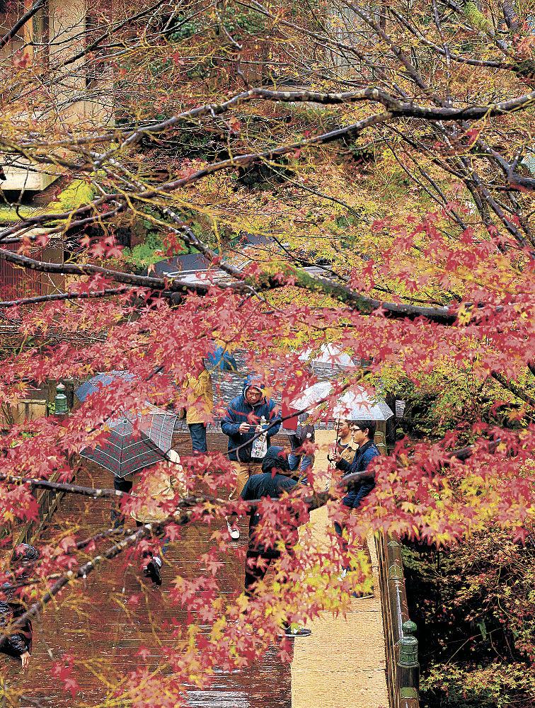 雨の中、名残の紅葉を楽しむ観光客=加賀市山中温泉のこおろぎ橋