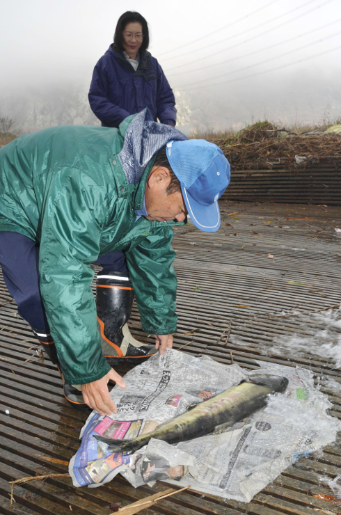 上田市の千曲川で見つかった今年3匹目のサケを回収する上小漁協の職員