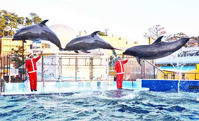 クリスマスショーで息ぴったりにジャンプするバンドウイルカ=1日、福井県坂井市の越前松島水族館