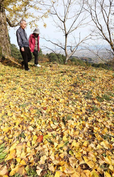 柔らかな日差しを受けて、二の丸跡を黄金色に彩るイチョウの落ち葉=2日、上越市の春日山城跡