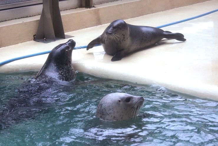 母アザラシのまちこ(左)と同じプールに移ったハル(奥)。手前はミミ=魚津市の魚津水族館