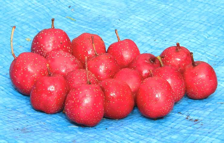 赤く熟したサンザシの実