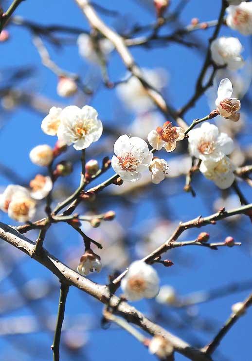 初冬の日差しを浴びて青空に映える「冬至梅」=天龍村神原