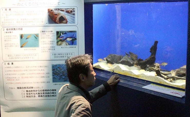 ノドグロを展示したコーナー=魚津水族館