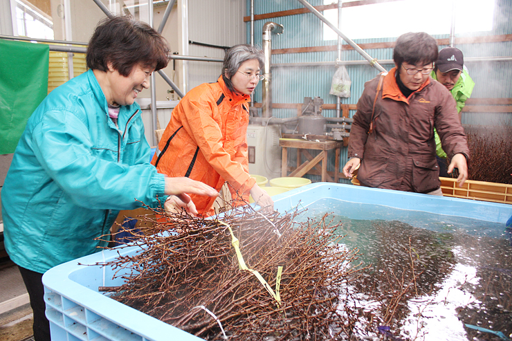 湯に漬けた枝を取り出す組合員(左)ら=花木促成施設