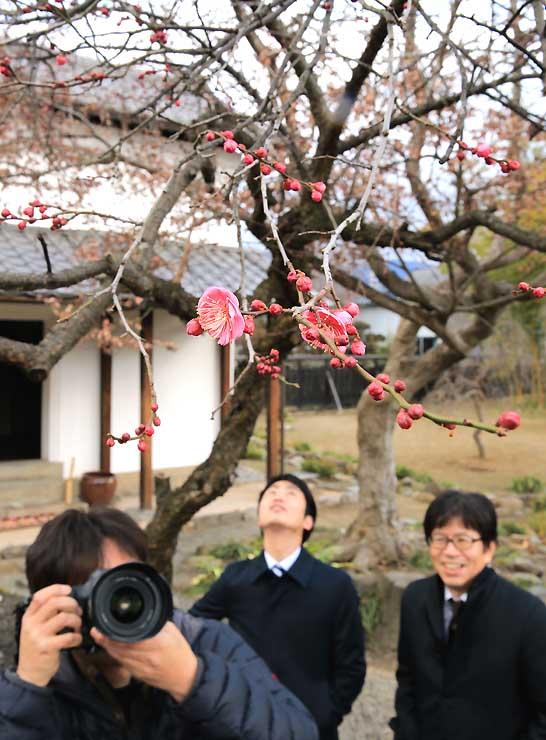 「旧樋口家住宅」の庭園で季節外れの花を咲かせた紅梅