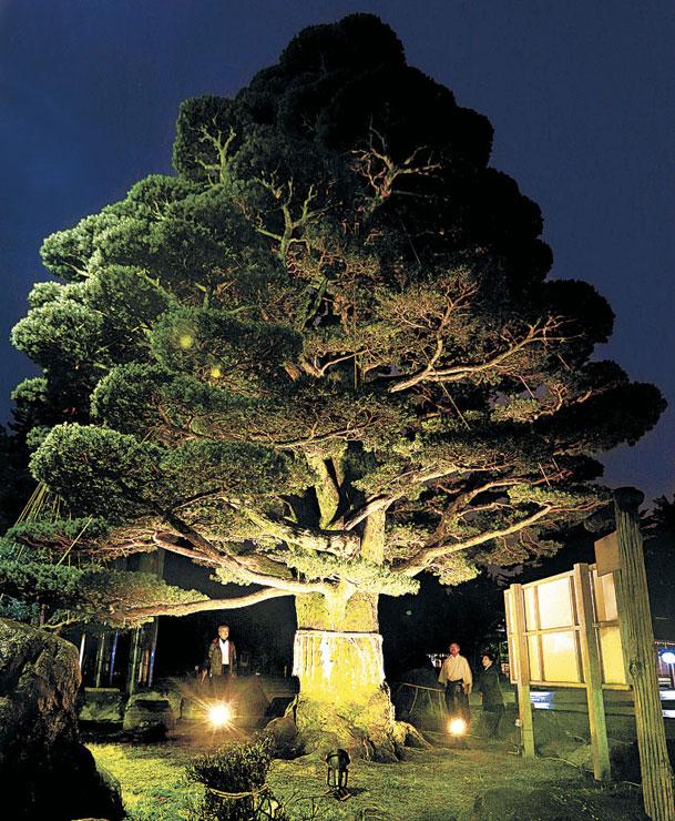 ライトアップされた五葉松=金沢市の石川護国神社