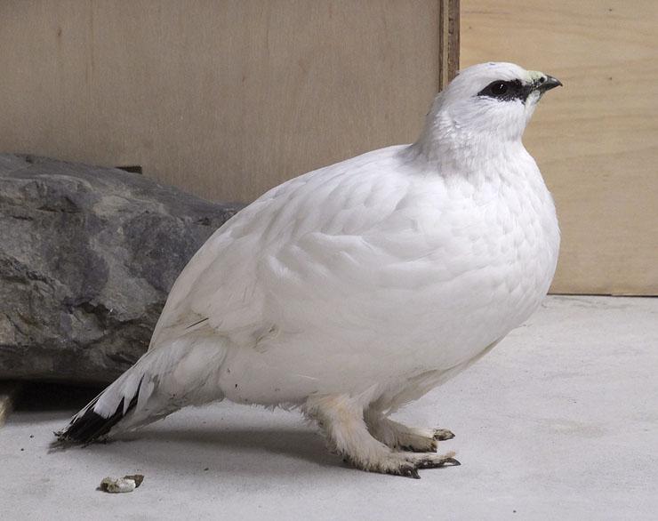 6月27日に生まれ、順調に育っているニホンライチョウ。全身が白い羽に生え替わった=富山市ファミリーパーク(同パーク提供)