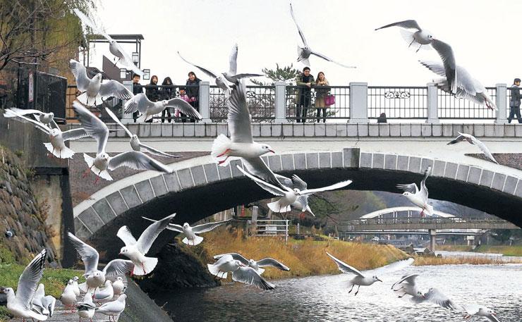浅野川大橋付近を乱舞するユリカモメの群れ=金沢市東山3丁目