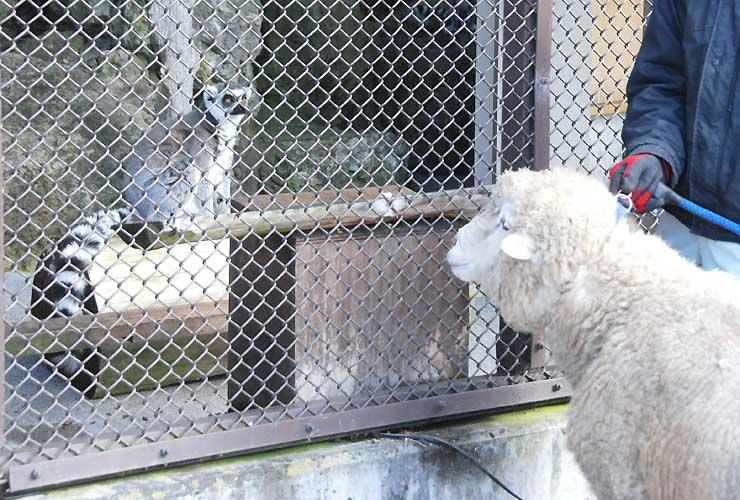 新年に向けた「引き継ぎ」で対面するワオキツネザル(奥)とヒツジ