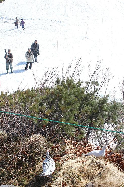 観光客の前に姿をみせるライチョウ。見守りネットの開設で観察しやすくなった=2015年4月、立山・室堂