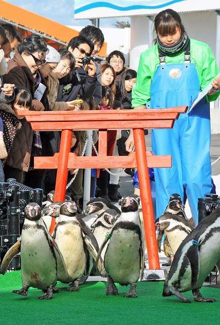 かわいらしい姿で来場者の注目を集めるフンボルトペンギン=1日、福井県坂井市の越前松島水族館